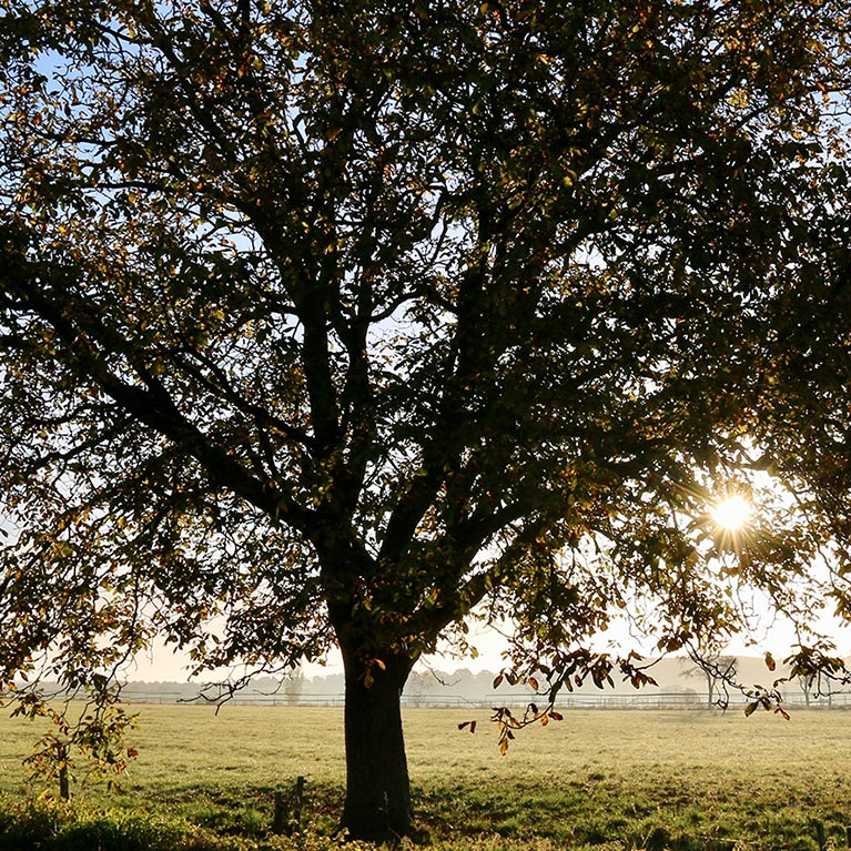 View of Strong Tree in a Country Field with the Sun Filtering Through